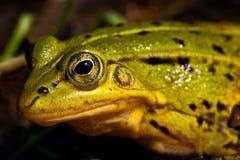 l'eau se reposante peu profonde verte de grenouille Photos stock