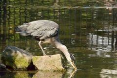 L'eau sirotante de héron gris de l'étang photographie stock libre de droits