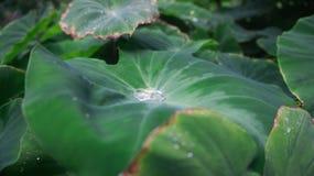 L'eau sur des feuilles Photo stock