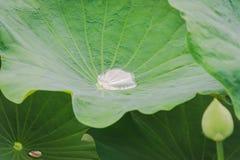 L'eau sur la feuille de lotus Photographie stock libre de droits