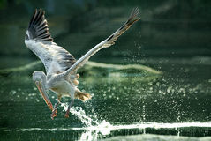 l'eau Tache-affichée d'engloutissement de pélican en vol Photographie stock libre de droits