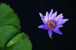 L'eau violette de lotus lilly dans un étang avec la feuille de lotus Image stock