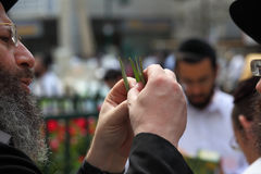 L'ebreo ortodosso sceglie la pianta rituale Immagini Stock Libere da Diritti