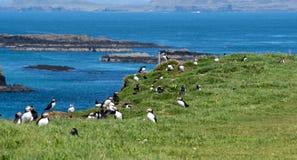 L'Ecosse, groupe coloré de macareux à la côte des îles de Treshnish Image stock