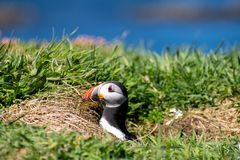 L'Ecosse, macareux coloré/macareux à la côte des îles de Treshnish Image libre de droits