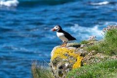 L'Ecosse, macareux coloré/macareux à la côte des îles de Treshnish images stock