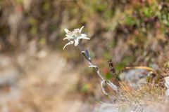 L'edelweiss di fioritura fiorisce il alpinum del leontopodium in meado alpino Fotografie Stock