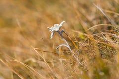 L'edelweiss di fioritura fiorisce il alpinum del leontopodium in meado alpino Fotografie Stock Libere da Diritti
