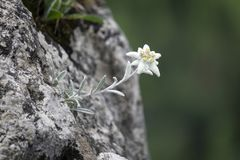 L'edelweiss a protégé la fleur rare dans les montagnes de Tatra photo stock