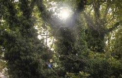 L'edera che scala un albero e quasi non lascia niente lasciato dell'albero immagini stock