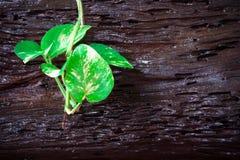L'edera del diavolo variegato che scala su un ceppo Fotografie Stock
