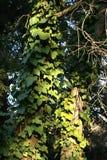 L'edera ha coperto l'albero Fotografia Stock Libera da Diritti