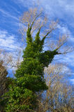L'edera ha coperto l'albero sotto forma di una mano sotto un cielo blu immagini stock