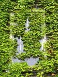 L'edera ha coperto la finestra Fotografia Stock