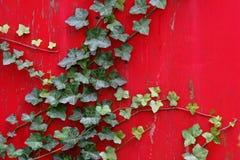 L'edera inglese arrampica la parete rossa vibrante Fotografie Stock