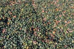 L'edera lascia nell'autunno - fondo astratto della natura Fotografia Stock