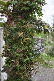 L'edera sull'albero Immagine Stock Libera da Diritti