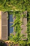 L'edera verde arriccia intorno ad una finestra Immagini Stock