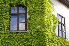 L'edera verde arriccia intorno ad una finestra Fotografia Stock