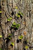 L'edera verde lascia la scalata su un tronco di albero Fotografia Stock Libera da Diritti