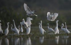 L'egretta che hutning in un lago Immagine Stock