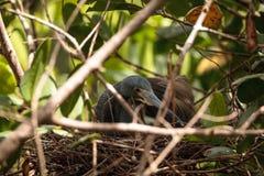 L'egretta dell'airone di Tricolored tricolore si siede sulle uova Immagine Stock