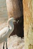 L'egretta di Snowy nasconde il piccolo pesce in acque di mare Fotografia Stock