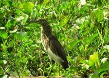 L'egretta grigia è uccello molto popolare immagini stock