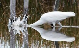 L'egretta si tuffa nell'acqua Fotografie Stock Libere da Diritti