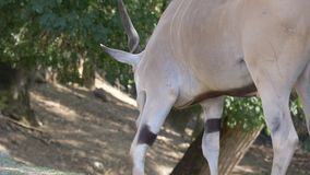 L'eland comune si siede video d archivio