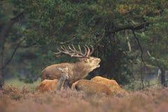 L'elaphus de Cervus de mâle de cerfs communs rouges chassant la femelle fait Photographie stock