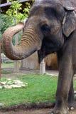 L'elefante Immagini Stock