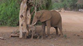 L'elefante africano adulto con un bambino da un albero morto mangia le formiche in Samburu Fotografia Stock
