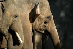 L'elefante asiatico (coppie) Immagini Stock