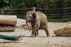 L'elefante asiatico, elephas maximus inoltre ha chiamato l'elefante di Asiatic fotografia stock