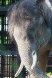 L'elefante che vive nello zoo Immagine Stock Libera da Diritti