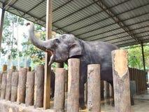 L'elefante del bambino intrattiene la folla Fotografia Stock Libera da Diritti