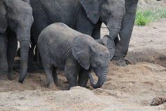 L'elefante del bambino trova l'acqua Fotografia Stock