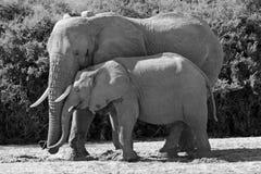 L'elefante della madre Snuggles con il suo bambino in Africa Fotografie Stock Libere da Diritti