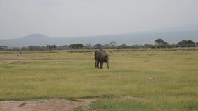 L'elefante di toro maschio turbato furioso va in giro il pascolo in uno stato eccitato stock footage