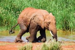 L'elefante esce dell'acqua Fotografia Stock