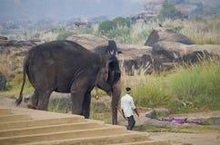 L'elefante indiano è condotto per fare galleggiare al fiume un rituale in India immagini stock libere da diritti