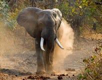 L'elefante selvaggio getta lo Zambia della polvere Sosta nazionale di luangwa del sud fotografie stock