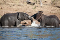 L'elefante sta giocando Fotografia Stock