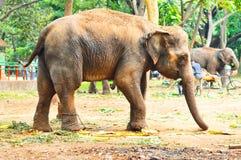 L'elefante sta mangiando immagine stock