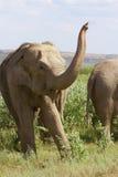 L'elefante sulla prateria Fotografia Stock