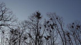 L'emboîtement de freux haut en ressort d'arbres, de chant et de voler - nid de freux - est ici banque de vidéos