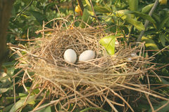 L'emboîtement de l'oiseau d'isolement Image stock