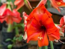 L'emerocallide di fioritura fiorisce il fiore di hemerocallis Immagine perfetta per la fine su del dettaglio rosso del fiore dell fotografia stock libera da diritti