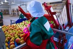 L'employé assortit les pommes mûres fraîches sur la ligne de tri RP images stock